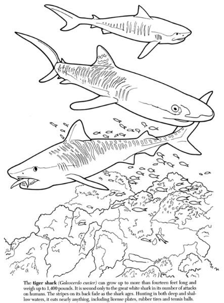 Sand Tiger Shark Coloring Pages Sketch Coloring Page