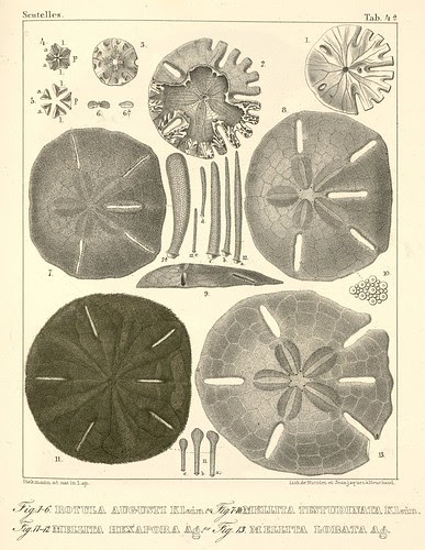 Mellita + Rotula echinoderm species illustrations