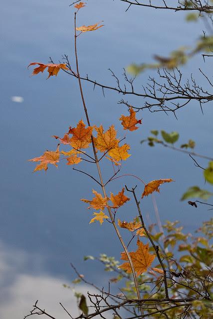 vibrant maple leaves