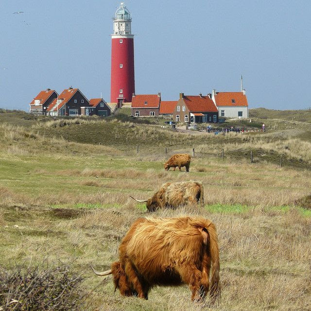 Lighthouse village on the Dutch island of Texel, Northern Holland.  (Highland cattle grazing in the Dunes of Texel next to the lighthouse of Texel)