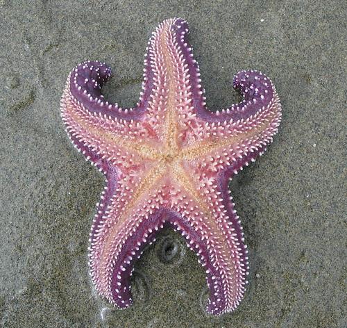 starfish curly