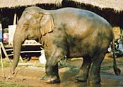 bigbrother Vets Cure Elephant of Drug Addiction picture
