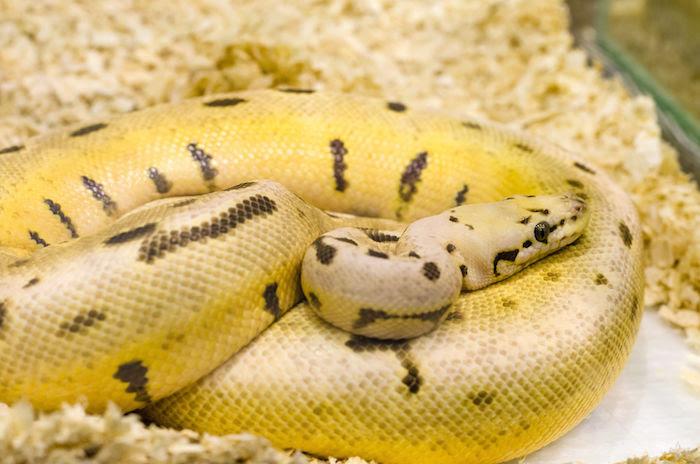 Yellow Snake Dream Dream Interpretation Symbols