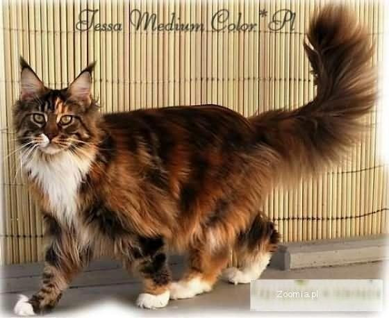 Reprezentacyjne Dostojne Koty Maine Coon Maine Coon Koty