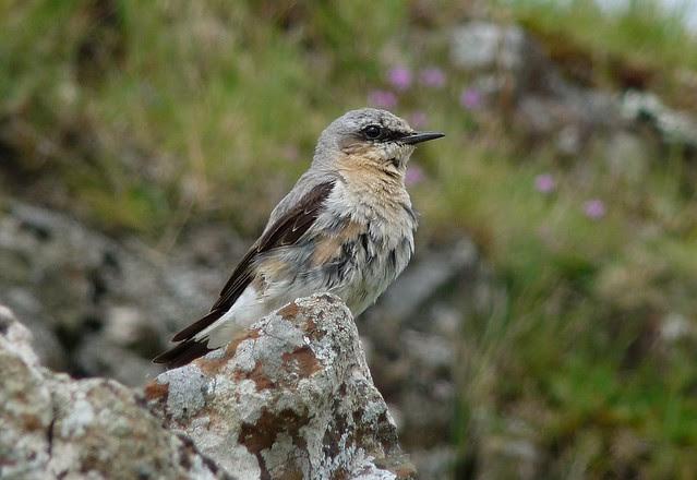24665 - Wheatear, Isle of Mull