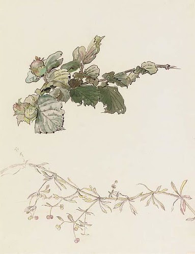 Bedstraw and hazlenuts (illustrated by Beatrix Potter)