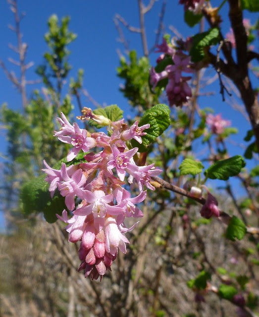 pink-flowering currant