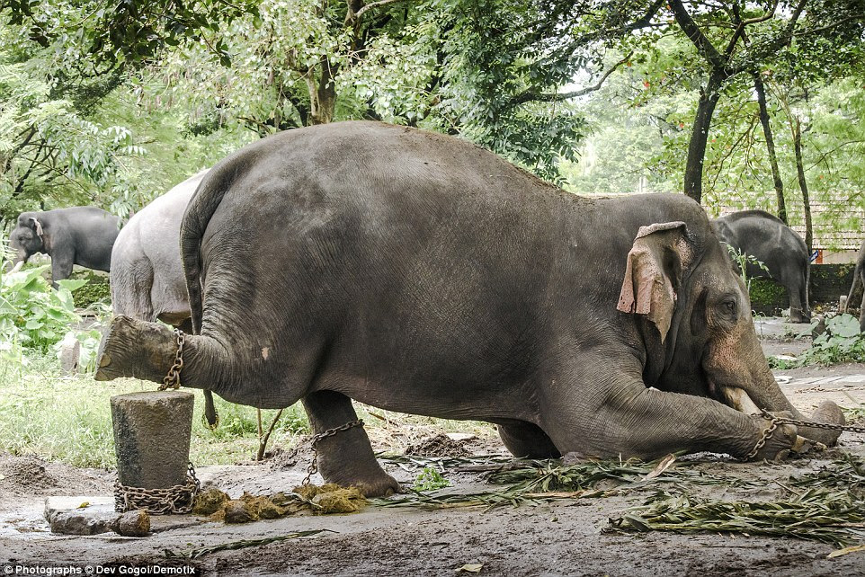 Nandan cuts a pathetic figure at the Guruvayur Temple, with his hind feet bound to a stump and his front legs chained to a tree. It means the male elephant cannot lie down, stretch or even reach a nearby water butt