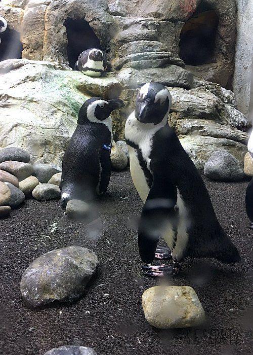what to do in gatlinburg, aquarium, penguins