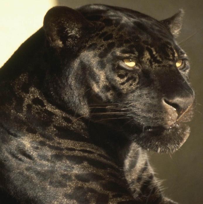 Черная пантера крупным планом. Фото