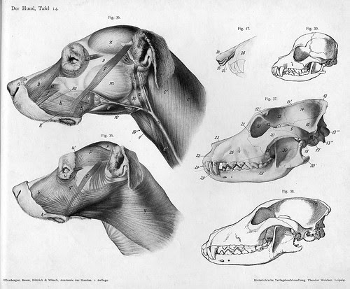 dog - anatomical views of head