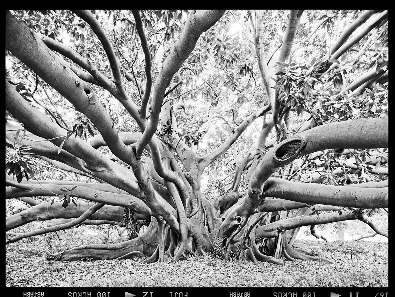 From the series The Tale of the Banyan Tree. 2015