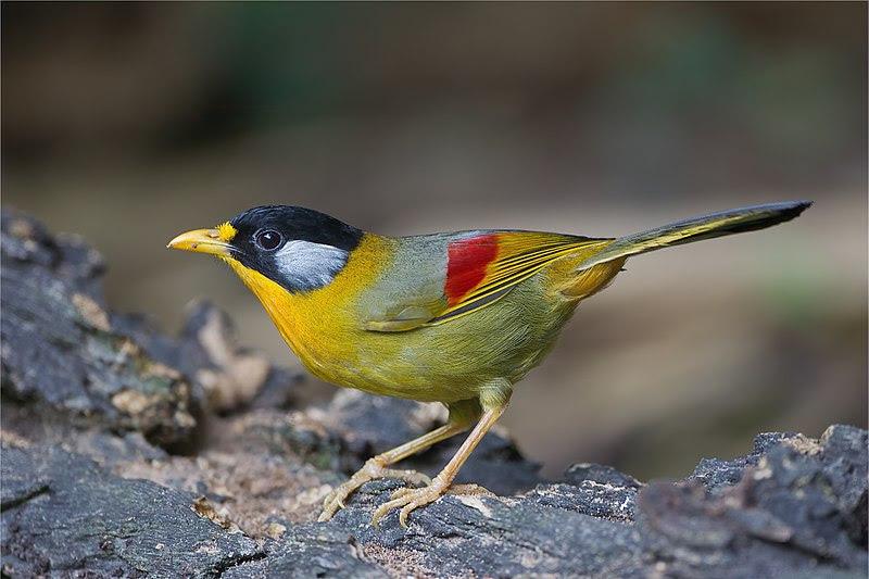 File:Leiothrix argentauris female - Mae Wong.jpg