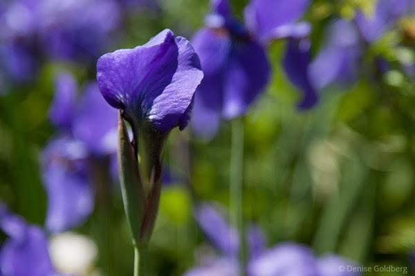 purple iris, unopened