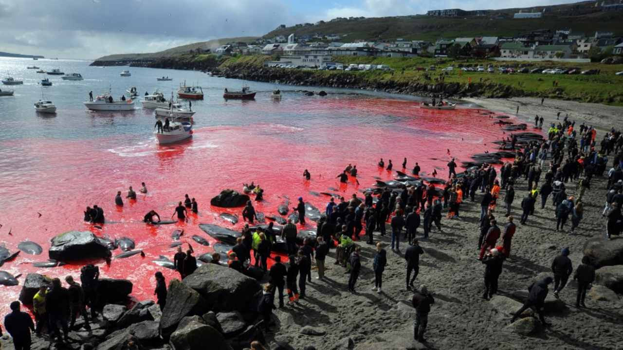 """In this file photo taken on May 29, 2019 people gather in front of the sea, coloured red, during a pilot whale hunt in Torshavn, Faroe Islands. Every summer in the Faroe Islands, hundreds of pilot whales and dolphins are slaughtered in drive hunts known as the """"grind"""" that inhabitants defend as a long-held tradition. Image credit: Andrija ILIC / AFP"""