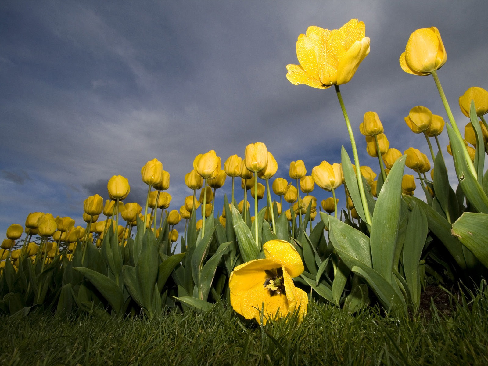 Yellow Tulips Wallpaper Flowers Nature Wallpapers In Jpg Format For