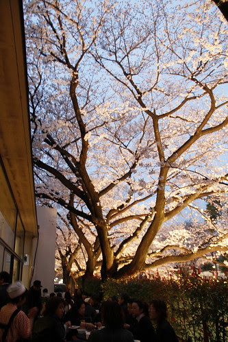 Dining under cherry blossoms