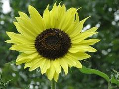 2007's first sunflower