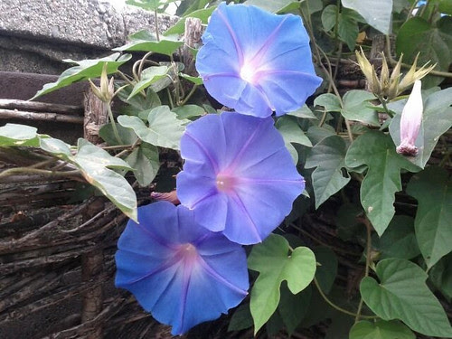 Love Note Morning Glories