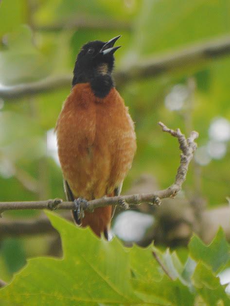 Ed Gaillard: birds &emdash; Orchard Oriole singing, Inwood Hill Park