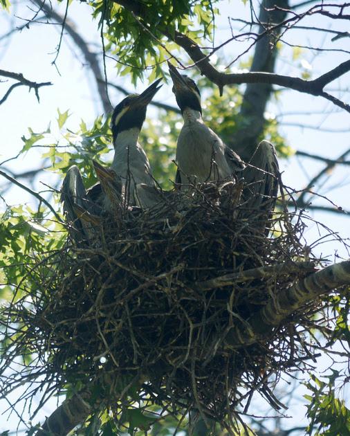Ed Gaillard: birds &emdash; The Yellow-Crowned Night Heron Family at Home, Governor's Island