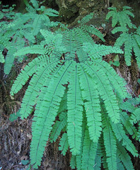 five finger maidenhair fern - adiantum aleuticum