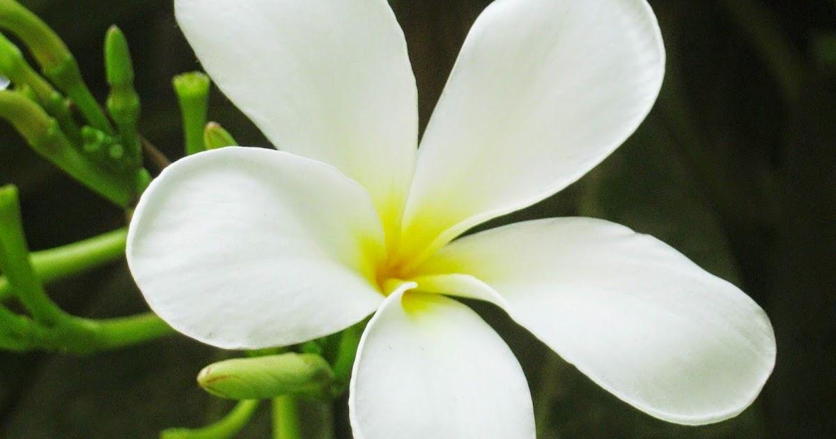 41 Contoh Gambar Bunga Melati Yang Istimewa