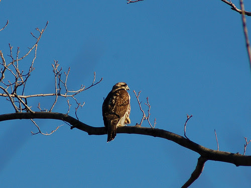 Juvenile Hawk at Central Park's Great Hill