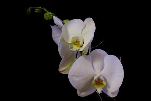 Orchid Phalaenopsis - IMGP5960
