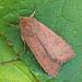 2262 The Brick (Agrochola circellaris)