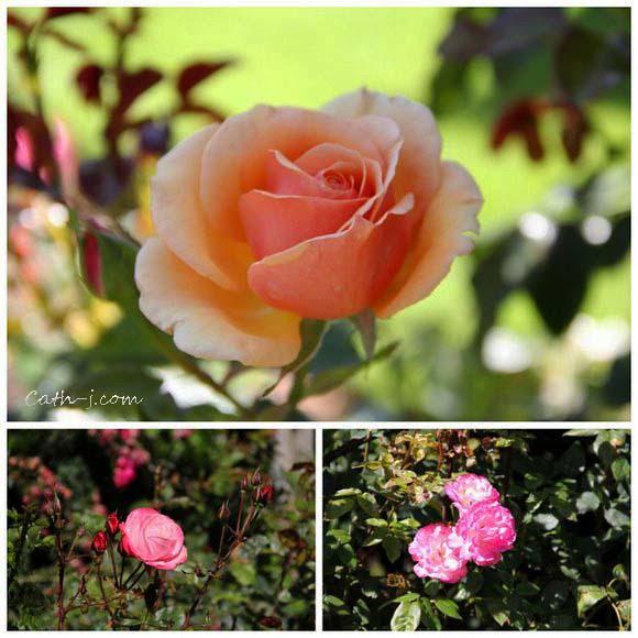Rose Garden Invercargill Nzealand_12