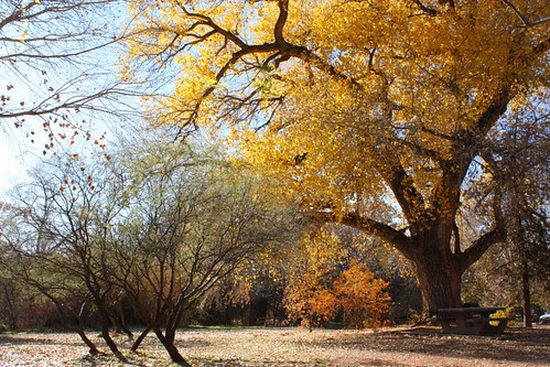 Cottonwood at Red Rock Crossing
