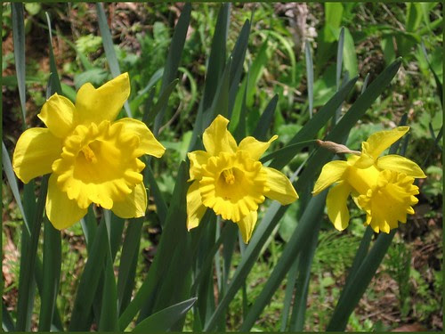 03 three yellow sisters narcissus