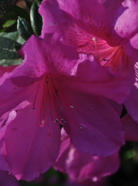 Rhododendron x 'Formosa'