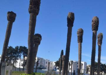 El cáncer de las palmeras amenaza los oasis