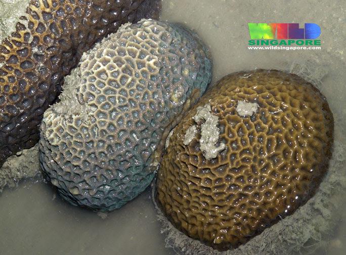 Favid hard corals (Family Faviidae)