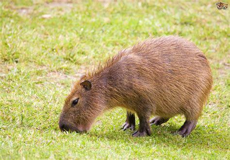 Can you keep a Capybara as a pet?   Pets4Homes