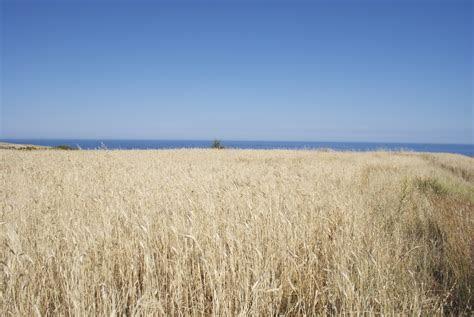 Campo di grano sul mare