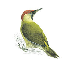 greenwoodpecker adult female