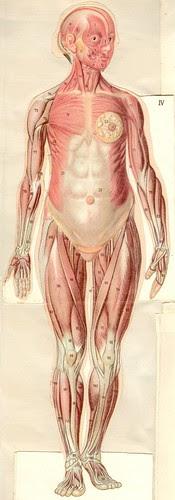 anatom37 4
