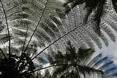 Bali - am Fu des Gunung Agung, Baumfarn (127) (dendroaspis2008) Tags: trees bali tree indonesia rboles boom arbres rbol albero bume arbre rvore baum trd indonesien aa   baumfarn