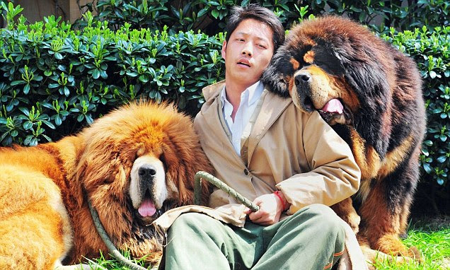 Man's best friends: A model poses with two Tibetan mastiffs