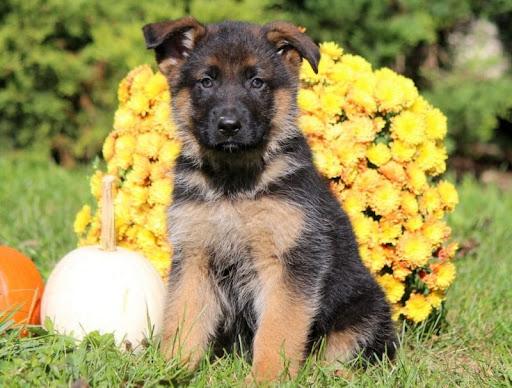 200 German Shepherd Puppies Near Me Petfinder