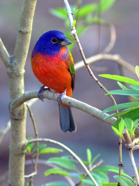 Painted Bunting 2-20130310
