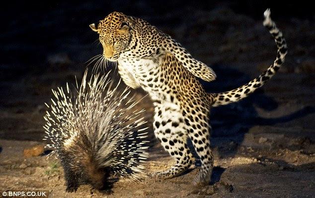 leopard battling porcupine