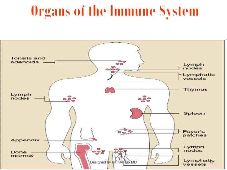 Immune System - Structure and Functions