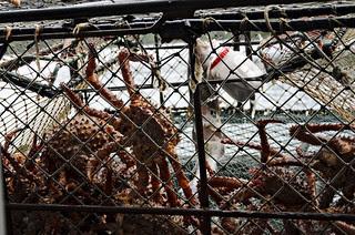 _BRK2405 golden alaskan king crab