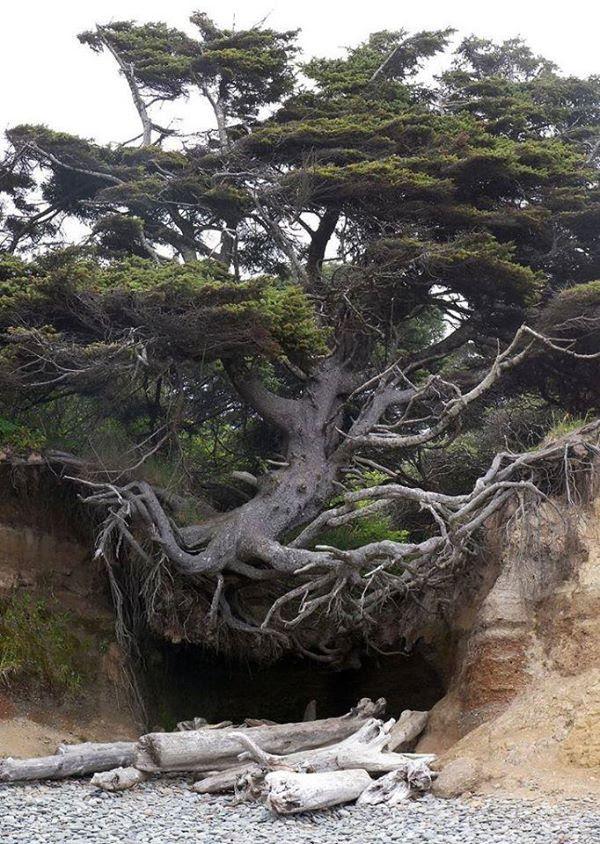 Cova sota les arrels d'un gran arbre