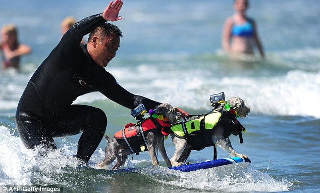 Group surf: This guy rides a wave with his two almost identical pooches in California