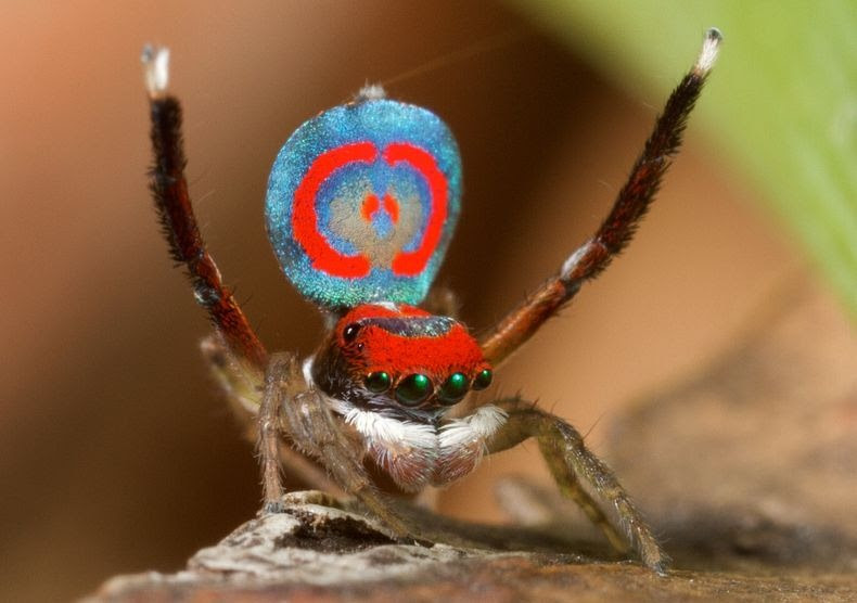 peacock-spider-8